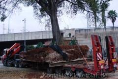 Wenn Riesen umziehen - eine Großbaumverpflanzung