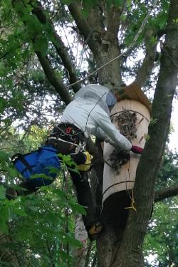 Zeidler oben im Baum neben Klotzbeute
